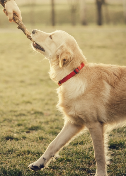 Labrador playing with stick