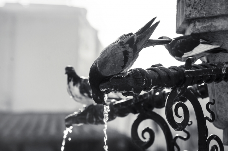 Pigeons drinking water on fountain
