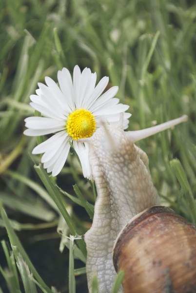 Snail and daisy